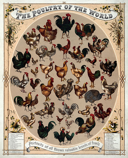 poultry-1868